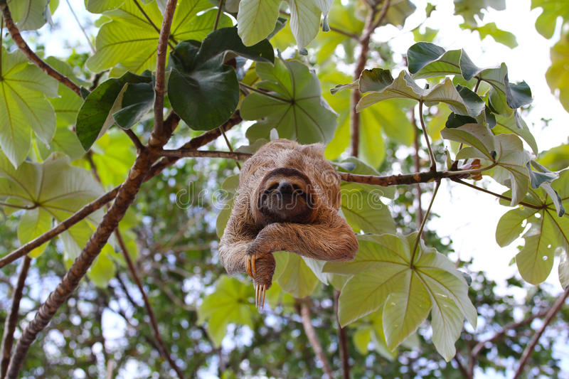Happy sloth stock photos