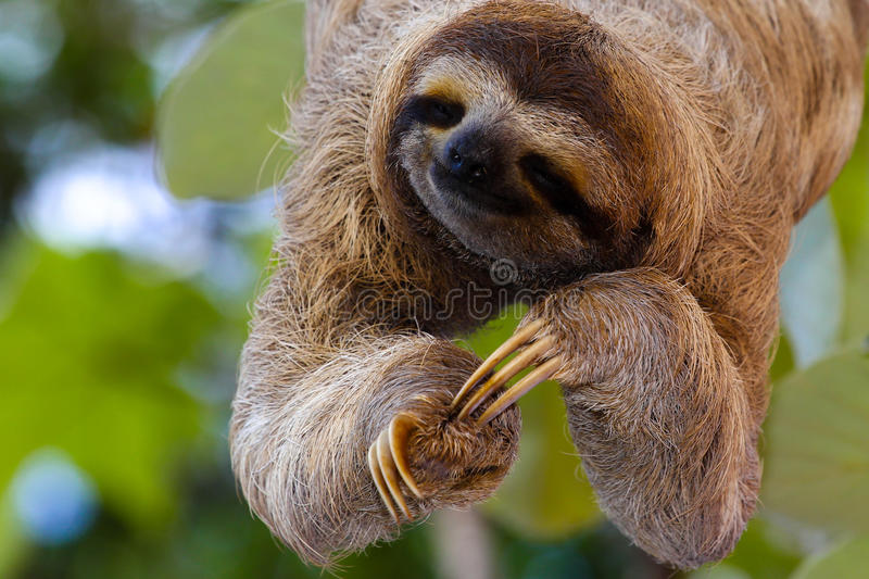 Happy sloth. The smiling sloth is listening hanging on the tree