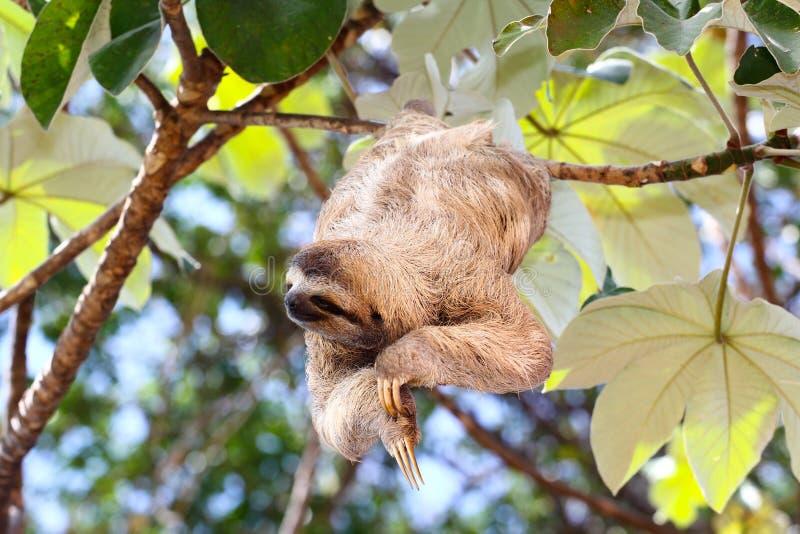 Happy sloth stock photography