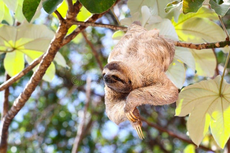 Happy sloth royalty free stock photography