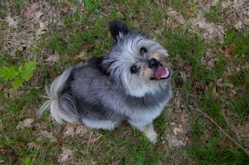 Happy small dog looking upwards into the camera stock images