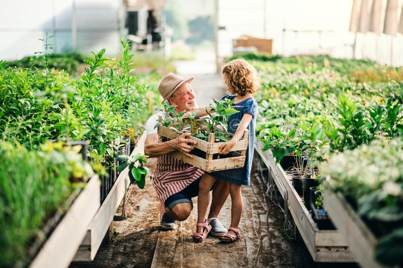 Small girl with senior grandfather gardening in the greenhouse. royalty free stock photography