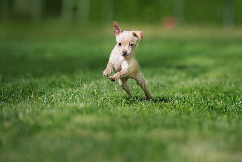 Happy small puppy jumping on grass. Adorable little puppy outdoors in summer royalty free stock photography