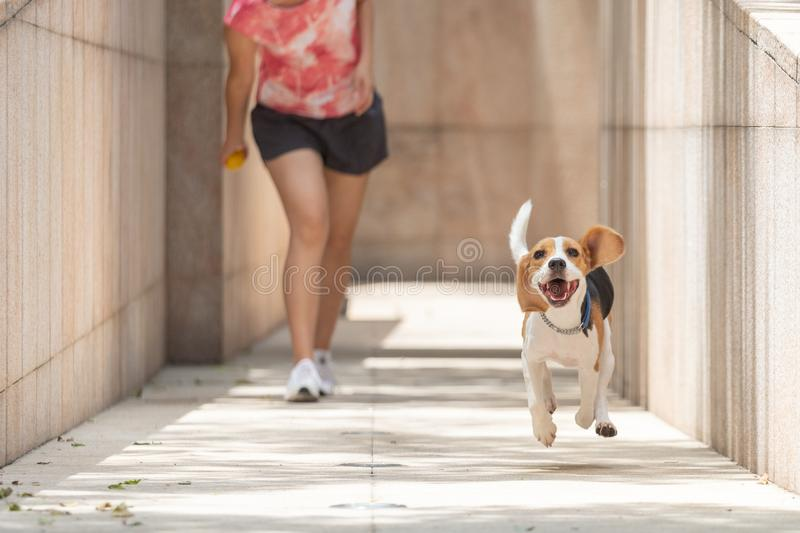 Happy smiley face beagle dog running and playing fetch jumping in the air with floppy ears and long tongue royalty free stock photo