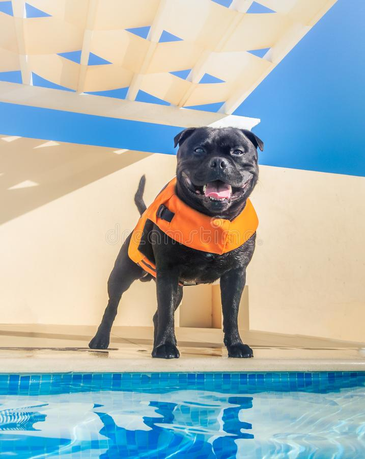 Happy, smiling black staffordshire bull terrier dog in an orange lifejacket, buoyancy aid standing by the side of a swimming pool. Looking like a lifeguard stock image
