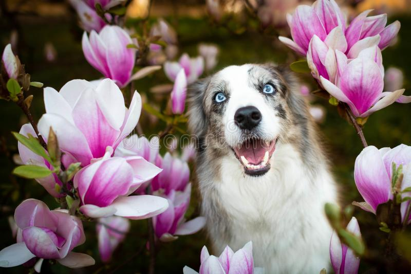 Happy smiling border collie dog between blossom flowers. stock images