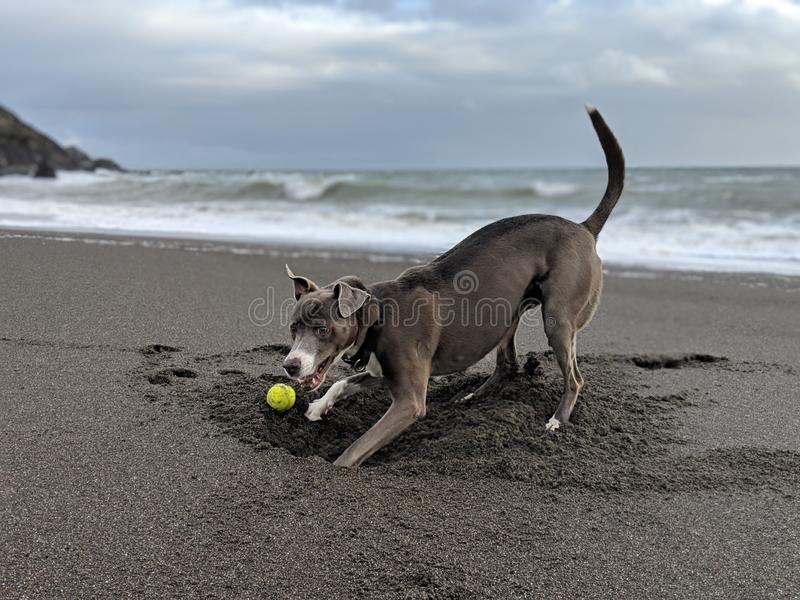 Happy smiling dog face digging a hole to burry a ball on the beach looking back at the camera royalty free stock images