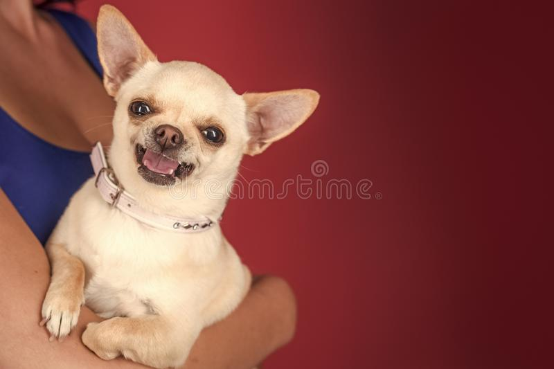 Happy smiling dog Protection, alertness, bravery. Happy smiling dog. Protection, alertness, bravery. Chihuahua dog smiling in female hands. Pet, companion stock image