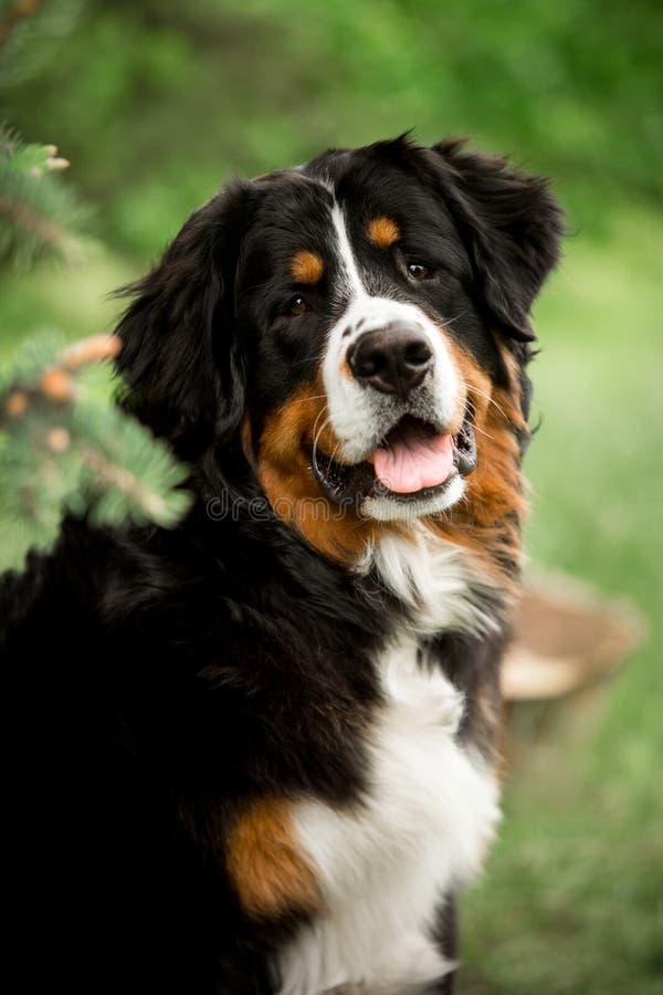 happy smiling portrait Bernese mountain dog. dark forest on background stock photos
