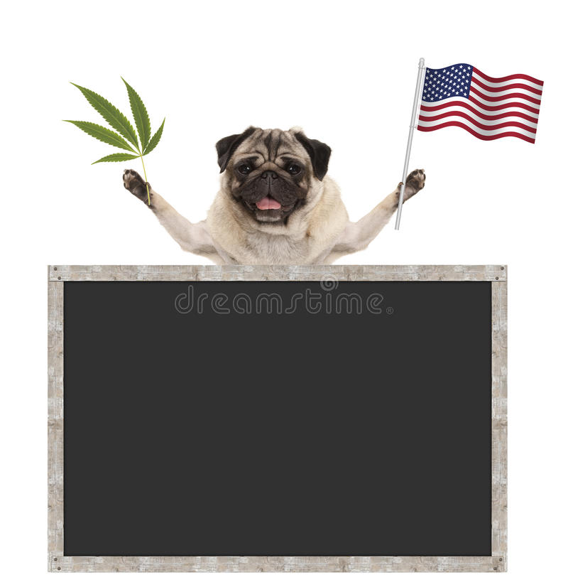 Happy smiling pug puppy dog waving American National flag of USA, with blank blackboard royalty free stock images