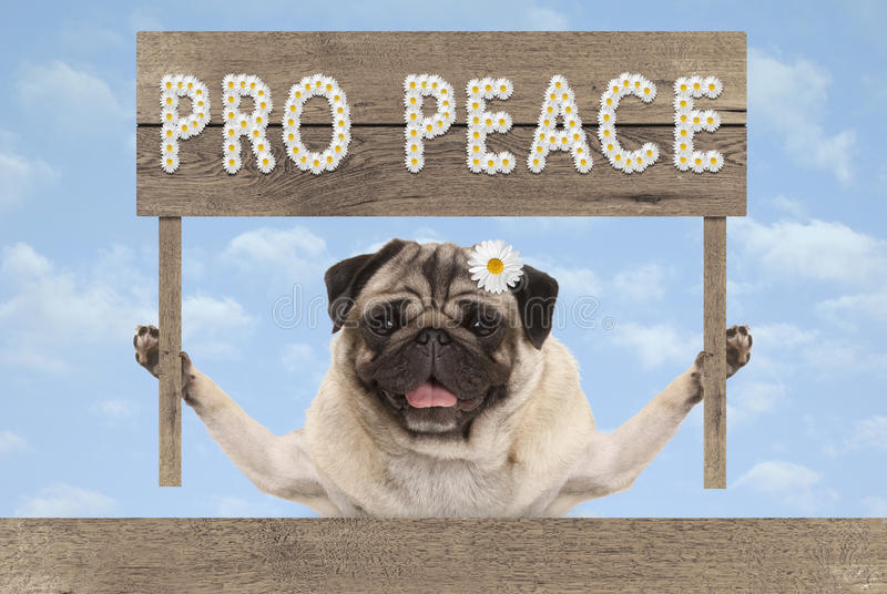 Happy smiling pug puppy dog with wooden sign and text pro peace in white flowers royalty free stock image