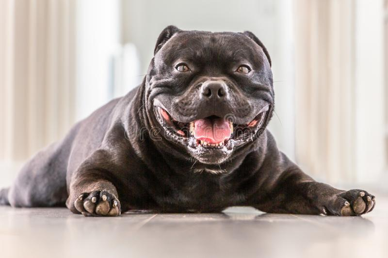 Happy, smiling Staffordshire Bull Terrier dog lying down on a grey wood panelled indoor floor looking at the camera. His paws are in front of him and he looks stock photography
