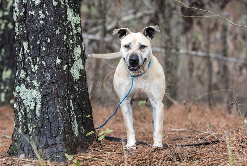 Happy smiling tan dog wagging tail. Older tan mixed breed dog outside on leash next to a tree wagging tail. Pet rescue dog adoption photography for animal royalty free stock image