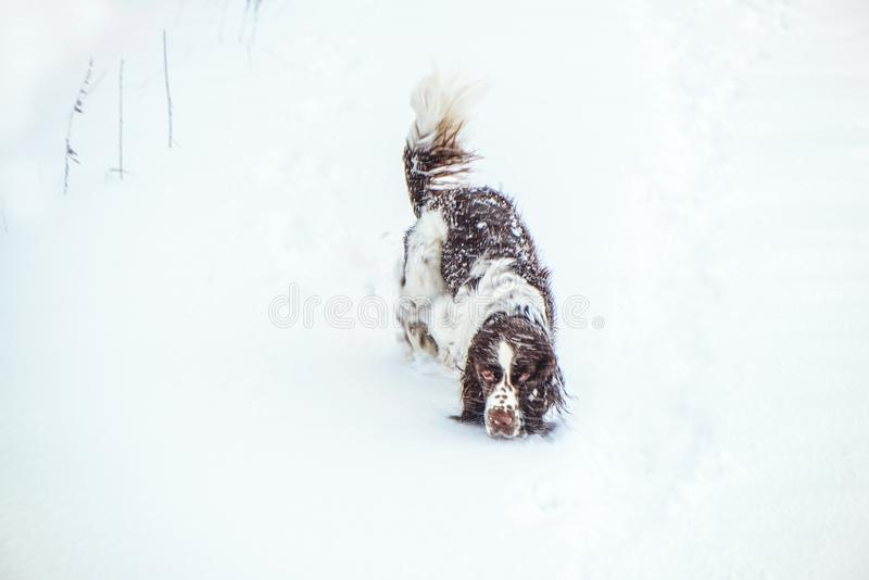 Happy springer spaniel dog follows the trail in winter nature. A hunting dog follows the trail in winter nature on a field under a snowfall. Springer spaniel dog royalty free stock photos