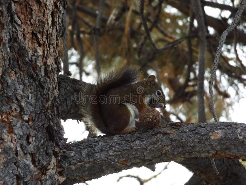 Happy squirrel. When I was out working in my yard I heard this weird noise. What I saw was this happy little squirrel eating away on this pine-cone royalty free stock photo