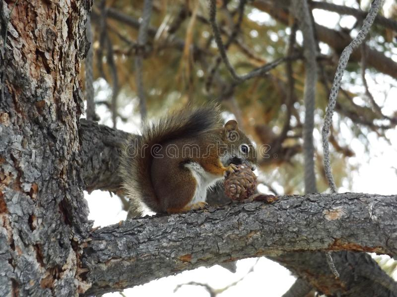 Happy squirrel. The other day I had heard this weird noise, I turned and saw this happy little squirrel just munching away on a pine cone royalty free stock image