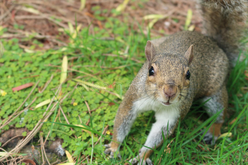 Happy Squirrel. A happy squirrel in a park in the summer stock photo