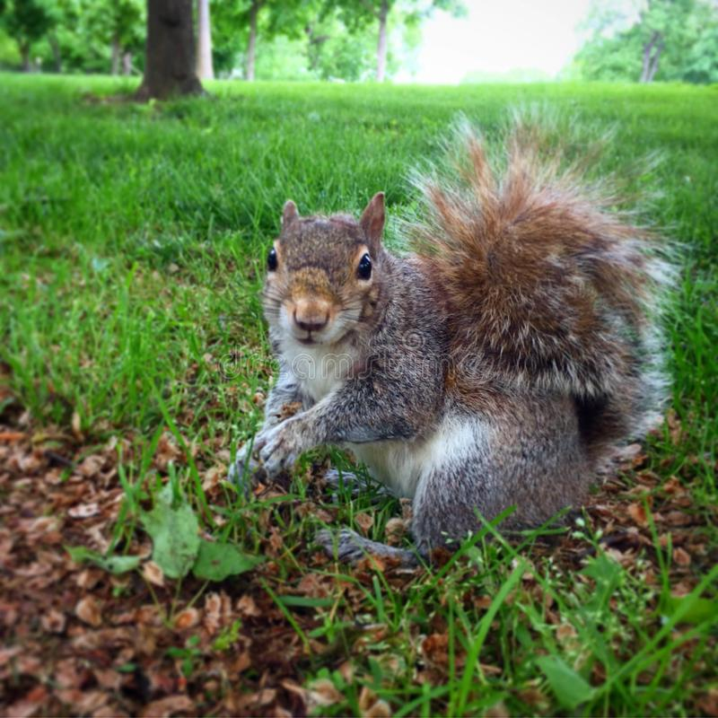 Happy Squirrel Perching in Grass. Cute happy squirrel looking friendly as it is perched in the green grass with a bushy tail stock images