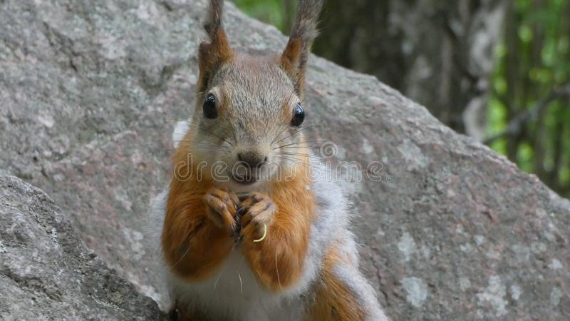 Happy squirrel smiling. Smile, happiness, squirrels, squirrellife, squirrellovers, cute, cuteanimals, fuzzy, fuzzyanimal, mood, dontworry, behappy, goodday stock photo