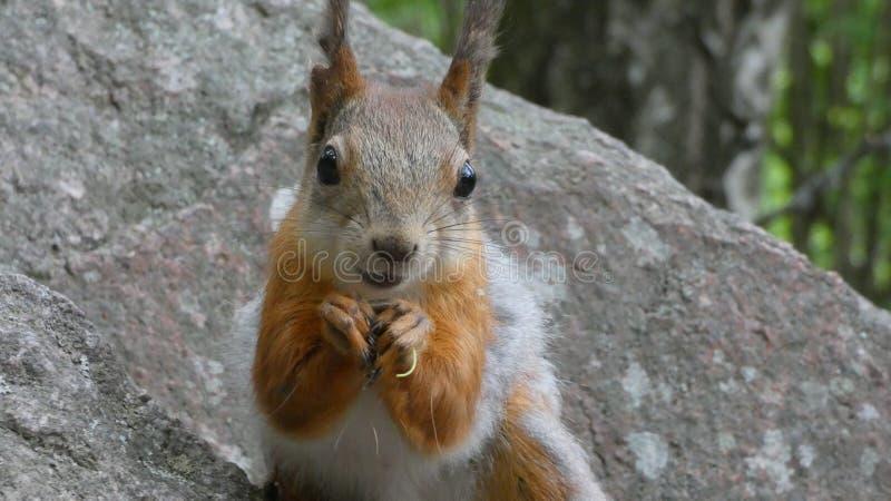 Happy squirrel smiling stock photo