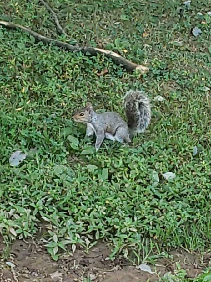 Happy squirrel stock photography
