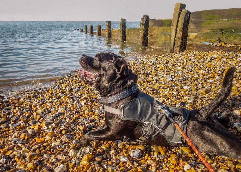 Happy Staffordshire bull terrier dog wearing a harness jacket stock photo