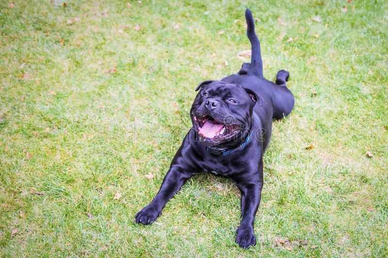 Happy staffordshire bull terrier lying flat on on the grass very stock images