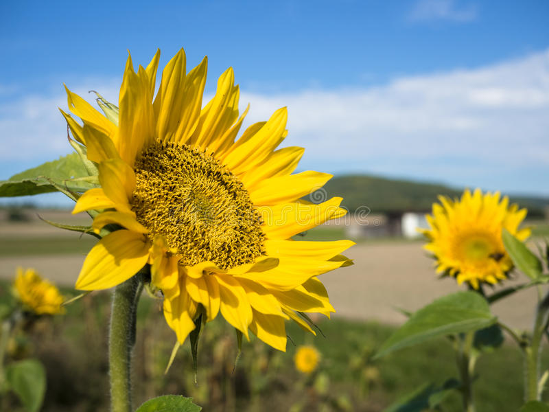 Download Happy Sunflower Field Stock Photo - Image: 83700262
