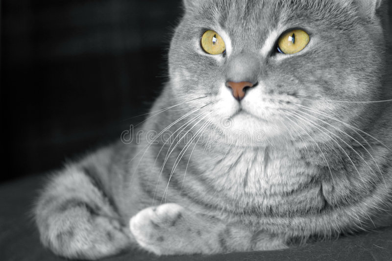 Happy tabby cat with golden eyes royalty free stock photo
