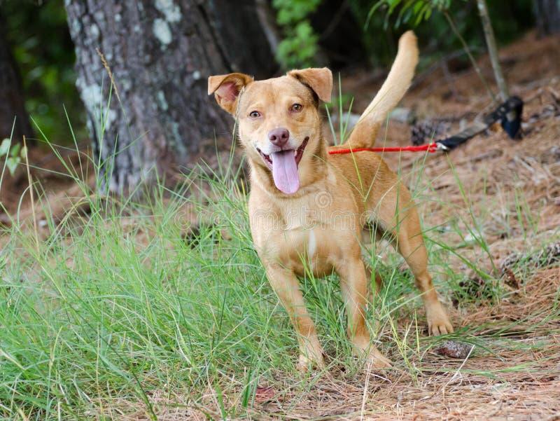 Happy Terrier Mixed Breed Dog. Walton County Animal Control, humane society adoption photo, outdoor pet photography royalty free stock photography