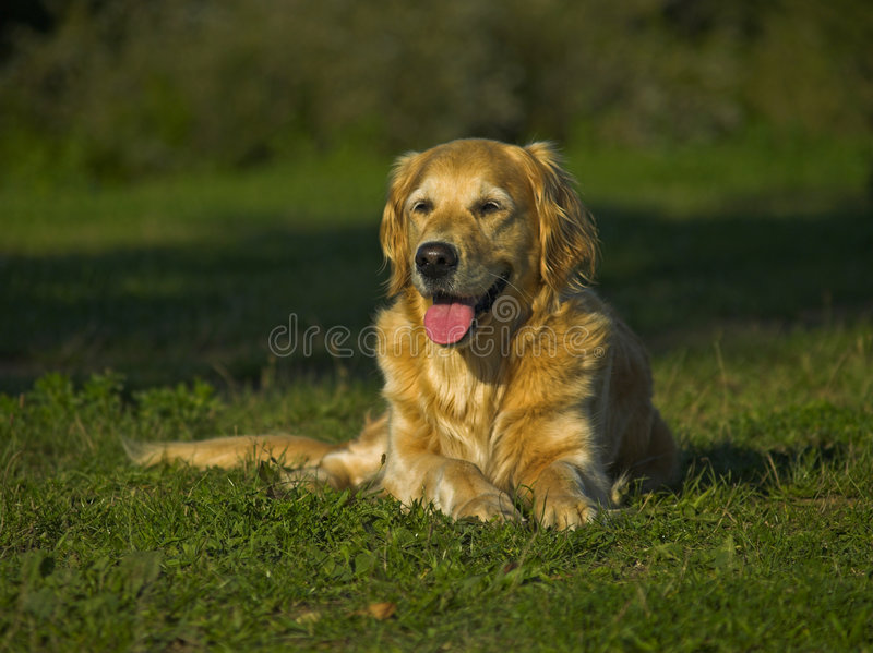 Happy And Thirsty Golden Retriever stock photo