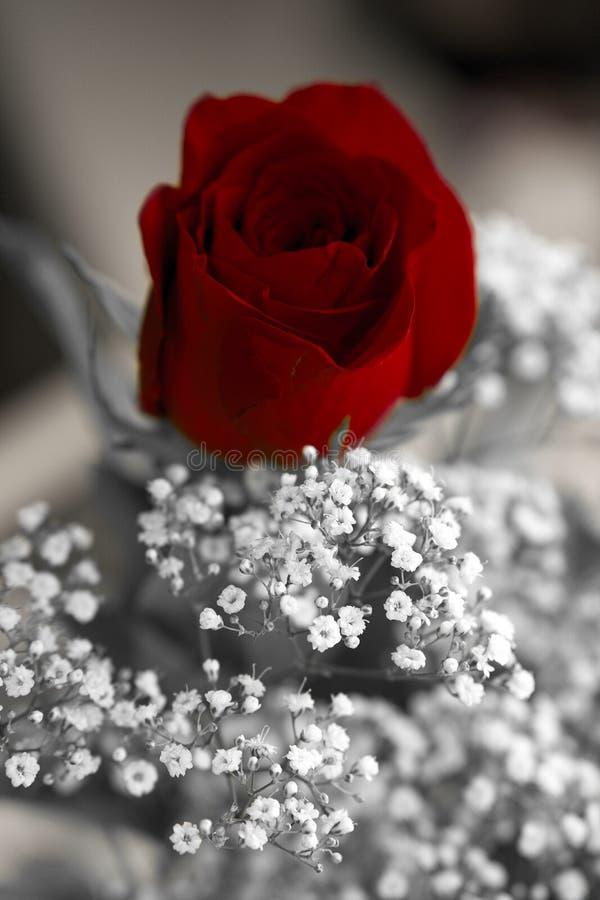 Happy valentines day rose stock image