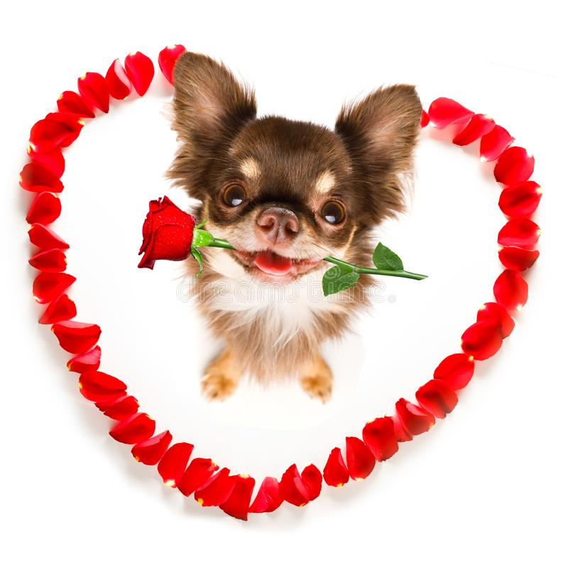 Happy valentines dog. Dog in love for happy valentines day with petals and rose flower , looking up in wide angle stock images
