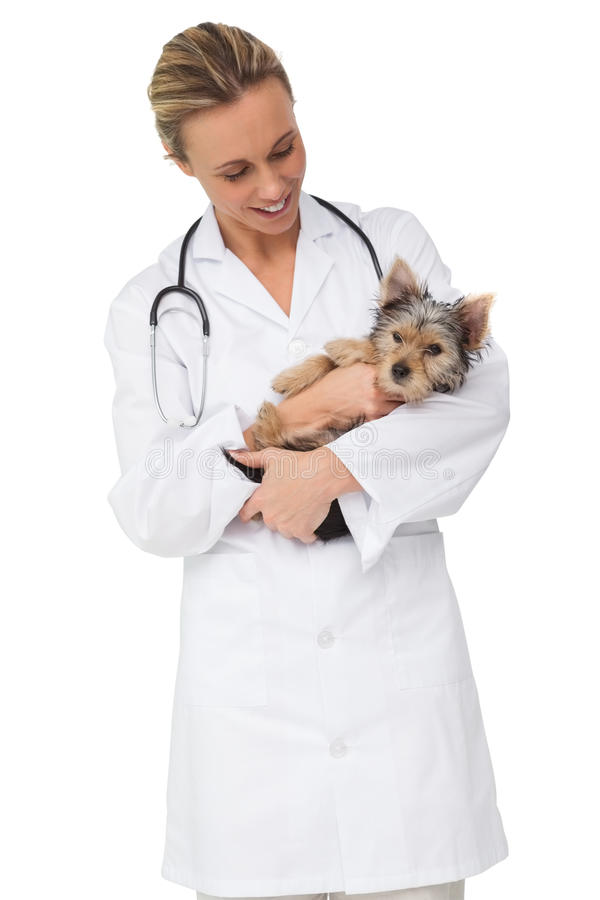 Happy vet holding yorkshire terrier puppy stock photography