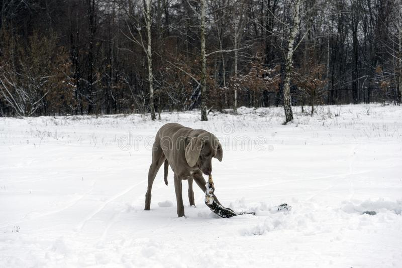 Happy weimaraner dog running with a stick in his mouth stock photos