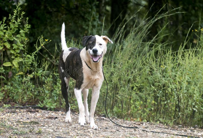 Brindle and white mixed breed female dog royalty free stock image