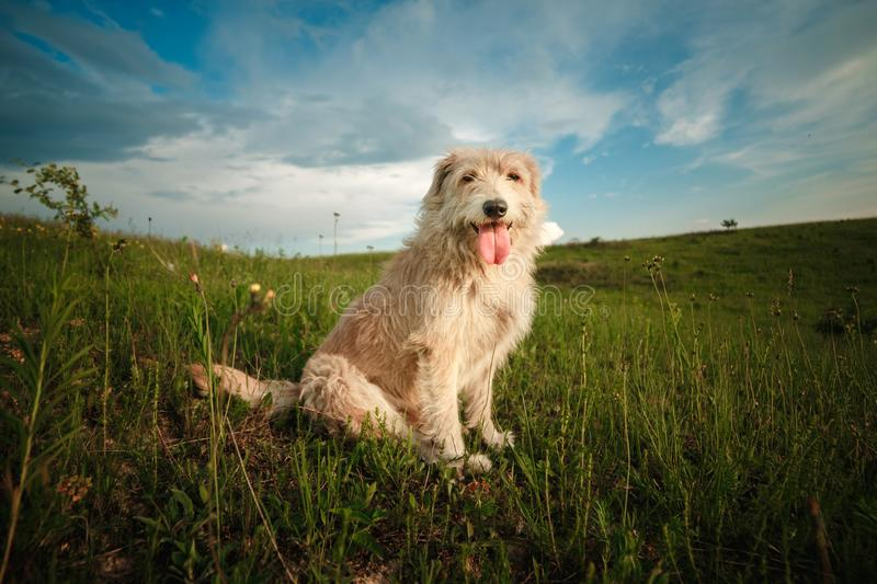 Happy white dog in the nature shows the tongue. funny dog in the nature. Happy white dog in the nature shows the tongue stock photo