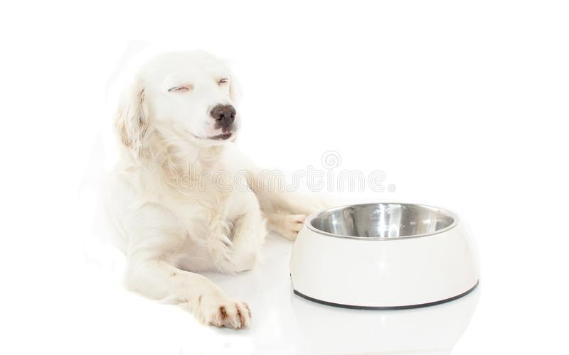 HAPPY WHITE DOG WAITING FOR EAT FOOD IN A BOWL ISOLATED ON WHIT. E BACKGROUND. STUDIO SHOT. COPY SPACE stock photography