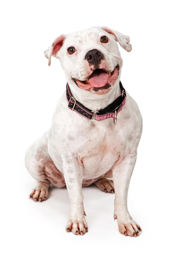 Happy White Pit Bull Dog. White Pit Bull dog wearing a pink and black collar with a big smile on her face royalty free stock photo