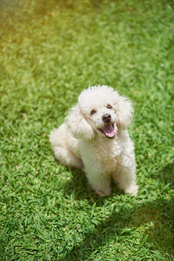 Happy white poodle dog royalty free stock photo