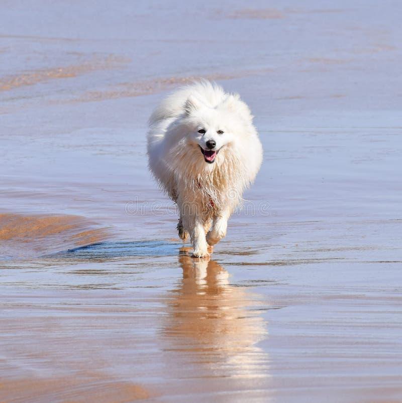 Happy White Samoyed Dog aan het werk op het strand bij North Avoca NSW Australia stock foto