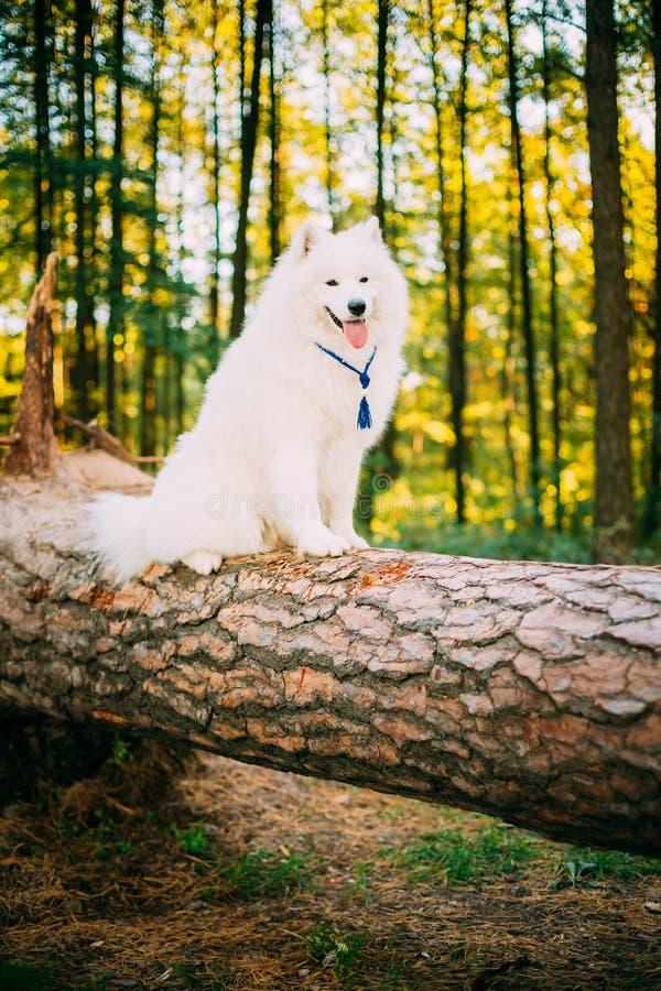 Happy White Samoyed Dog sitting on fallen tree stock photography