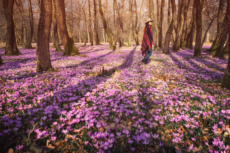 Happy woman enjoying the spring nature and crocus flowers. Happy woman enjoying the nature in the spring forest and feeling free among meadow of beautiful crocus stock photography