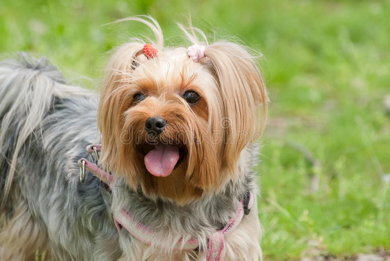 Happy Yorkie stock photos