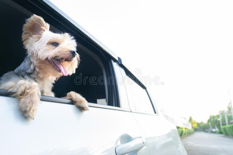 A happy Yorkshire Terrier dog is hanging is tongue out of his m. Outh and ears blowing in the wind as he sticks his head out a moving and driving car window.dog royalty free stock image