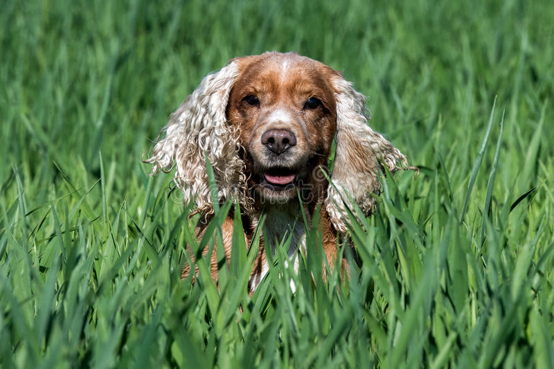 Happy young Dog English cocker spaniel while running to you stock photography