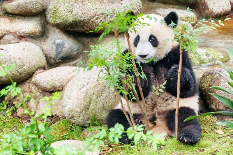 Happy young giant panda looking at the camera through foliage. Cute happy young giant panda looking at the camera through green foliage. Funny panda bear stock photo