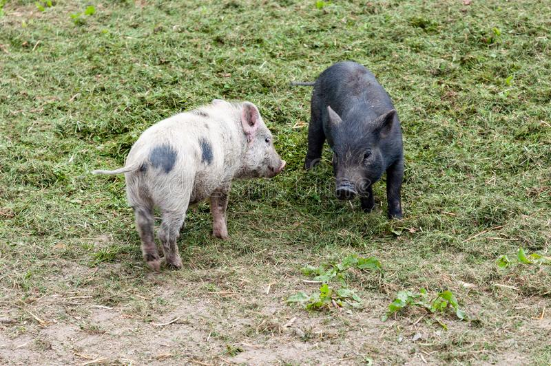 Happy young pigs piglets organic farm, playing outside, grass royalty free stock images