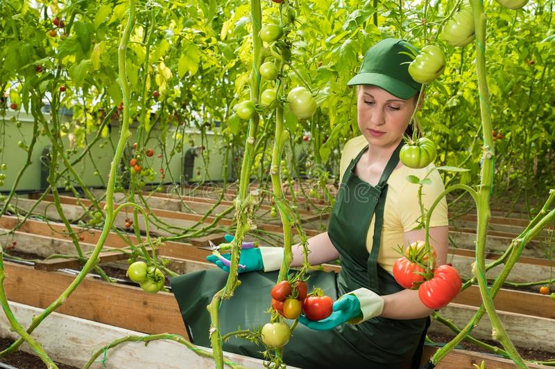 Happy young woman in uniform, cuts fresh tomatoes in a greenhouse. Work in a greenhouse. royalty free stock photo