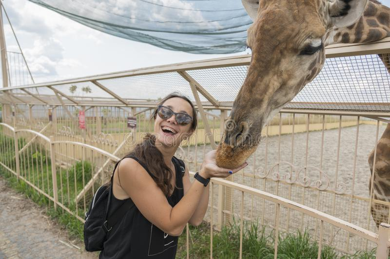 Happy young woman watching and feeding giraffe in zoo. Young attractive tourist woman feeds cute giraffe. The concept of royalty free stock photos
